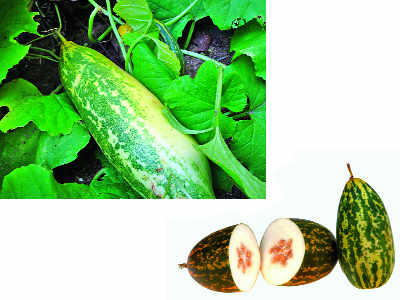 What's at the heart of the ubiquitous yet mysterious Madras cucumber? Here's splitting open this rotund south Indian vegetable to find its origins.