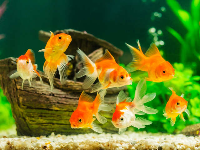 Goldfish produce alcohol to survive beneath frozen lakes