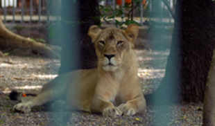 Strange behaviour of a lioness has raised curiosity among wildlife activists and forest officials in Savarkundla, Amreli district of Gujarat.