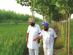 Farmers at their poplar-lined fields at Bhundri village, Ludhiana