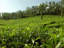 Prices may increase by the end of December when there will be hardly any tea production.
