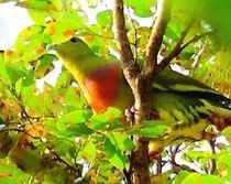The orange-breasted green pigeon spotted at Sanjay Gandhi National Park. (TOI photo)