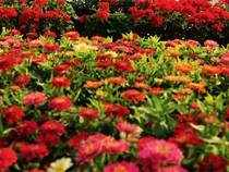 Due to wedding demand, the retail prices of cut flowers like roses and gerbera have increased by up to Rs 5 a stem.