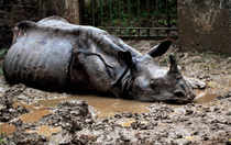 Two adult Rhinos with their horns chopped off were found dead today in separate forest areas of central Assam.