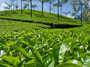 However, for internationally recognised products like Darjeeling tea, which have an expansive export market, international protection is of crucial importance.