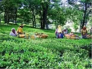 """Despite being highly dependent on the climatic whims, tea is not covered under the schemes of Agriculture Insurance Company of India Limited,"""