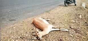 One of the seven blackbucks killed by speeding vehicles near Bhavnagar.