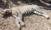A leopard has been found dead in Haldwani town of Nainital district.