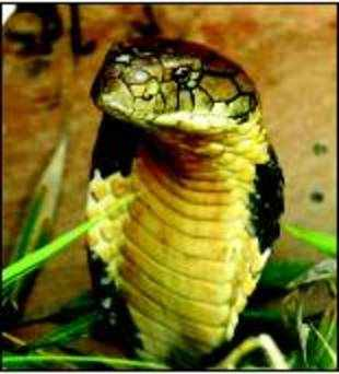 "The study, published on Friday said, ""Overall, this study estimated 30% of freshwater reptiles to be close to extinction."