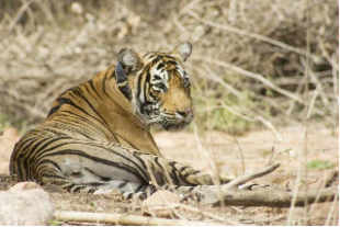 National Tiger Conservation Authority (NTCA) and Russia have already formed a subgroup on tiger and leopard conservation and signed a pact. The visit is part of the Tiger Watch Project of the Global Tiger Forum (GTF).