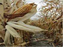 China has developed four million hectares genetically modified (GM) crops a report on the status of commercialised GM crops said.