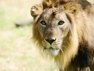 Ninety-two Asiatic lions have died, including 83 of natural death, in the past two years in Gujarat's Saurashtra region.