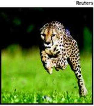 Can Indian geneticists revive Asiatic cheetah?