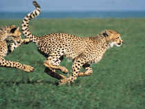 In India, many genetics are dreaming of bringing to life species that have been wiped off from earth and high on the list is the Asiatic cheetah that went extinct after Independence.