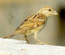 The common house sparrow, once part of every household, is fast disappearing from urban areas. The survey revealed that the number of male sparrows in Chennai is higher than female.
