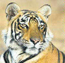 ​Madhya Pradesh tigers to head for Sariska sanctuary