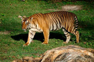 Bandipur is home to one of the finest wildlife reserves in the country, where many tigers reside.