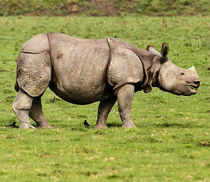 The adult male rhino whose carcass was recovered from Kanchanjuri was also a victim of poaching as its horn was missing.