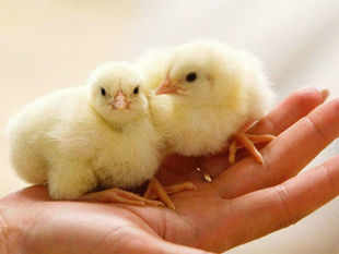 For humans, it takes at least four years to develop self control. New born chickens also have the ability to keep track of numbers up to five.