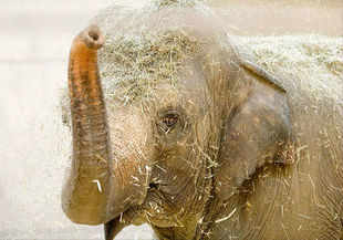 The elephant was rescued by locals at Jakhalabandha Hatimura area on July 3 from the swollen river and handed over to the forest department, official sources said today.
