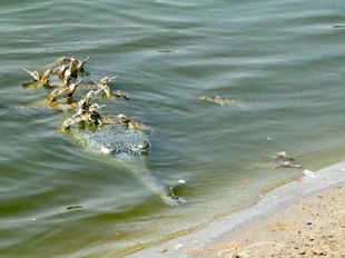 Among other significant findings, the team of researchers found gharials nesting near the confluence of Yamuna and Chambal. (Photo credit: Khem Bahadur Singh)