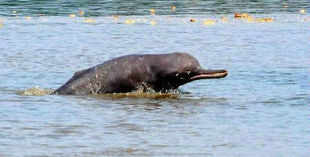 The monthly monitoring of the dolphins is conducted jointly by teams of World Wide Fund for Nature and Harike wildlife sanctuary.