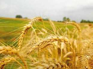Nabard pitches for breaking wheat-paddy rotation in Haryana