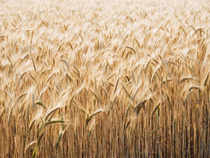 Indian wheat is likely to fetch a price as high as US $ 290 a tonne in global markets in coming weeks as supply from Ukraine is likely to be hit by the escalating political turmoil.