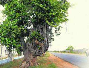 The only standing tree on the road to Chevella has now been hacked. (TOI)