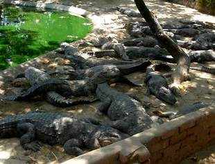 Chennai Crocodile Bank (TOI Photo)
