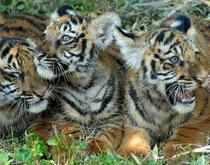 In a major boost to efforts to revive tiger population atPTRwhere the feline population had disappeared completely a few years ago,T5the hand-bred tigress has given birth to two cubs in its first litter.