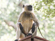 "Some humans have also discovered a lucrative career in dressing up as primates (langurs) to deal with the ""monkey menace"" in many urban centres in India."