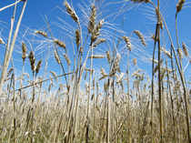 The campaign against GM crops has succeeded in scaring many politicians and judges into acting against genetically modified crops.