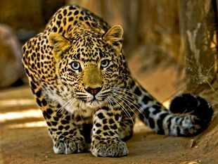 Pneumonia kills Uttarakhand leopards