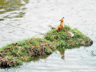 ALL SUFFERED: A dog stranded in heavy rains in Chennai. —FILE PHOTO