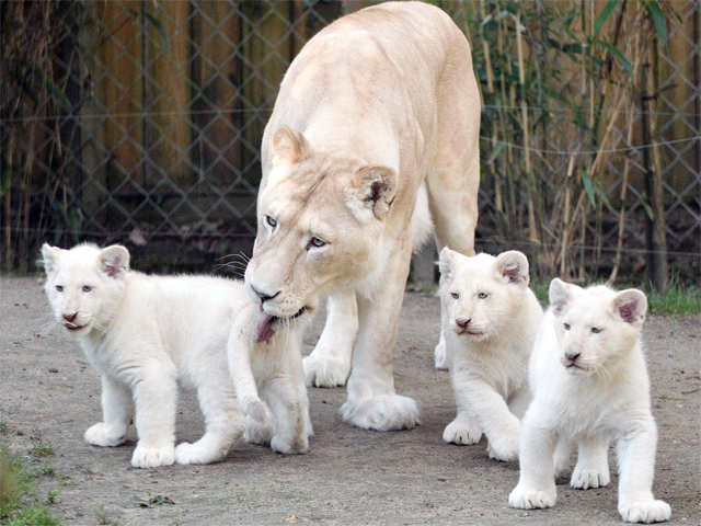 Four Rare White Lion Cubs Born | IFLScience