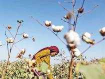 Capping Bt cotton seed prices aside, it is high time the government firmed up its position on GM crops.
