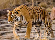 India's beloved tiger Machli dies