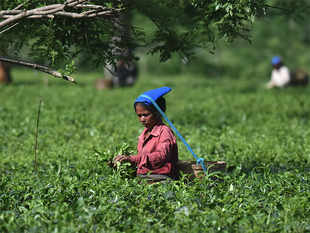 It would appear that despite all efforts of the Tea Board at introducing Pan- India Auctions, the platform has been unable to generate competition for a fair price discovery.