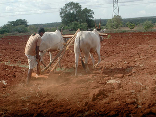 Higher market price and a sharp increase in the minimum support price encouraged farmers to boost pulse cultivation.