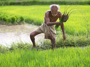 The state accounts for only 1.5 percent of India's geographical area, over the past two decades it has contributed 35 percent of the nation's rice production and 60 cent of its wheat.