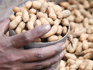 Groundnut is one of the major crops in kharif season and Gujarat is the prominent state growing groundnut.