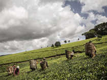 Global production of bulk tea increased by around 2.5%, during 10M CY2016, largely on account of higher crop in Kenya, despite the decline in Sri Lankan production.