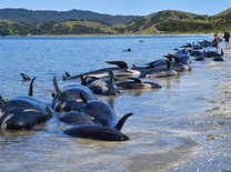 Hundreds of whales stranded on New Zealand beach