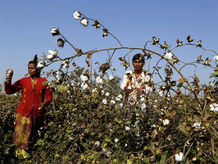 """This year cotton is likely to make revival in several South Western districts where paddy was grown in the last few seasons,"" joint director, Punjab agriculture, JS Bains said."