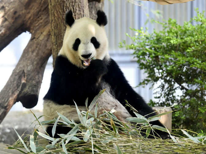 Japan: It's a girl: Japan zoo's star panda baby gets a checkup - The Economic Times