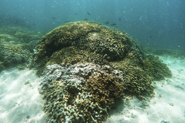 'Superalgae' to protect world's corals from bleaching