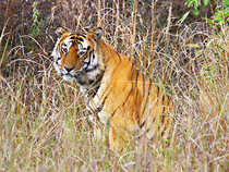 India faces worst tiger crises