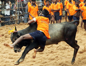 This is how the economy of Jallikattu works