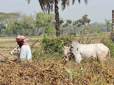 Why cattle continue to be smuggled from West Bengal's border areas to Bangladesh